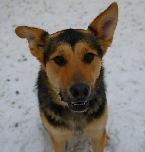 Adult Female Dog - Shepherd Husky: