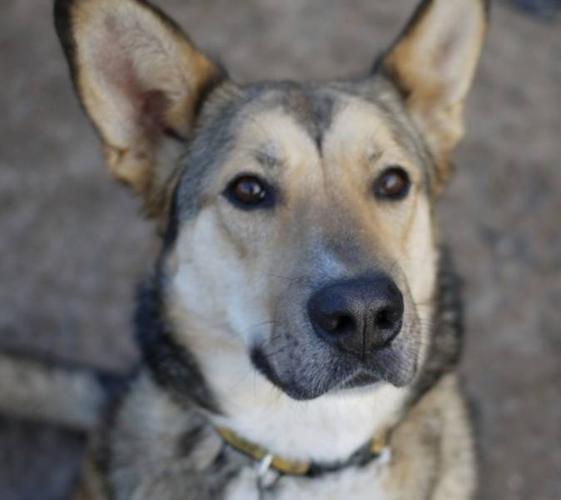 Adult Female Dog - Shepherd Husky: