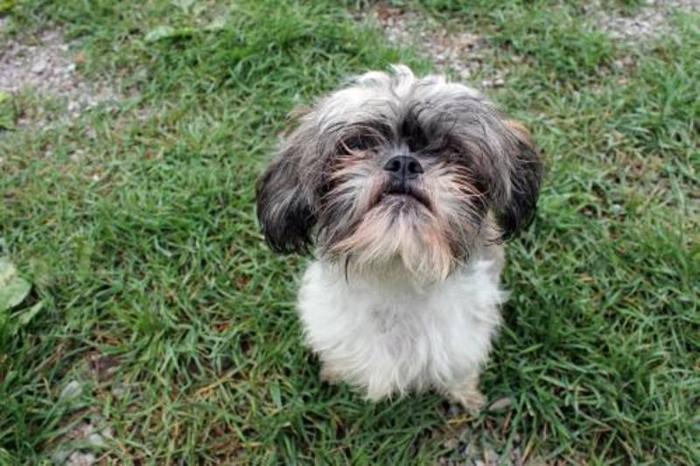 Adult Female Shih Tzu   Barnsley, South Yorkshire   Pets4Homes