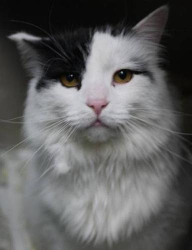 Adult Male Cat - Domestic Long Hair: