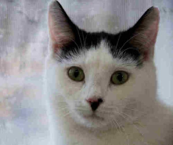 Adult Male Cat - Domestic Short Hair-black and white