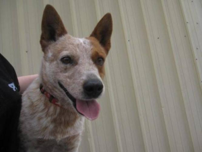 Adult Male Dog - Australian Cattle Dog (Blue Heeler):