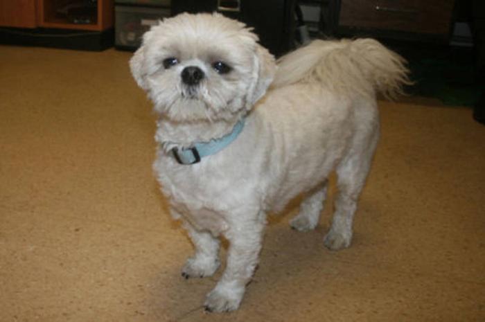 Bichon Yorkie Shih Tzu Cross Puppies For Sale In Edmonton Alberta ...