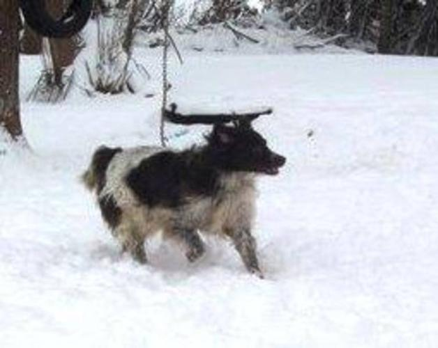 Adult Male Dog - Irish Setter: