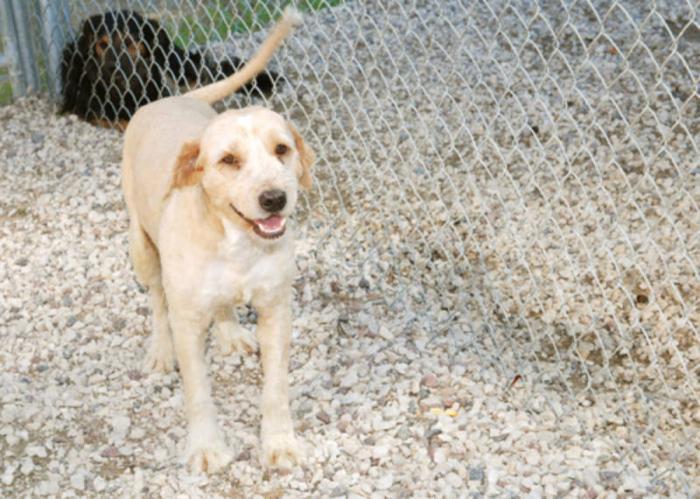 Adult Male Dog - Wheaten Terrier: