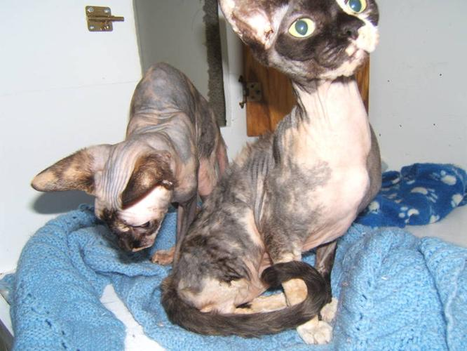 Adult Sphynx Cats