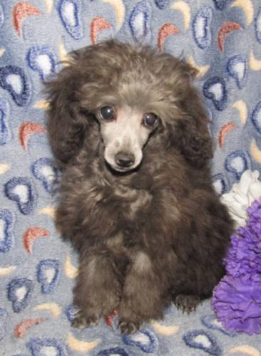 AKC Reg. Tiny Teacup Poodle