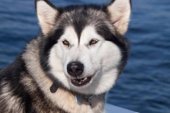 Alaskan Malamute cross pups for sale in Fenwick, Ontario Nice pets ...
