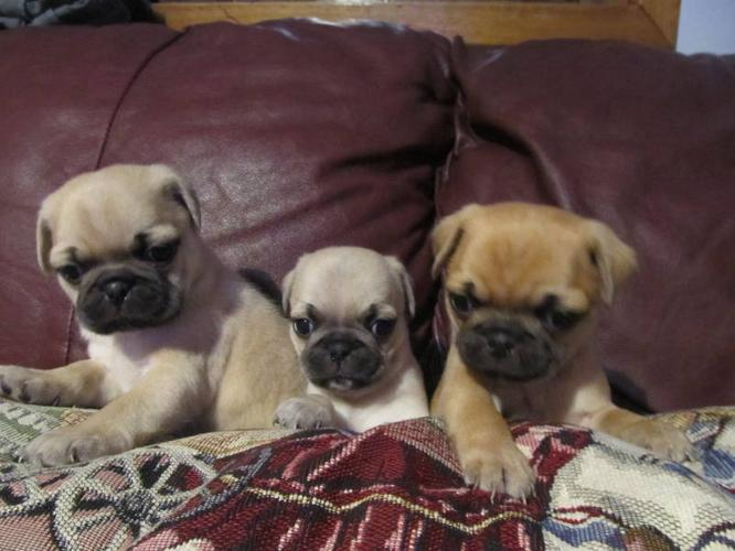 ALMOST ALL PUG PUPPIES, ADORABLE!!! Harley, Sadie and Toffee