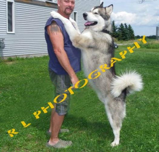 AMAZING Alaskan Malamute pups (giants)