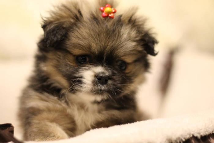 Amazing Crested Peke Puppies- HYPOALLERGENIC