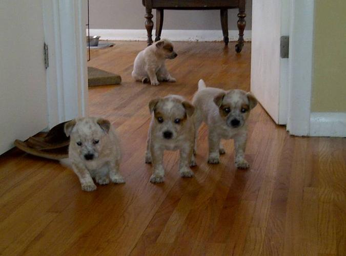 Australian Cattle Dog - Red Heeler puppies, for sale in ...