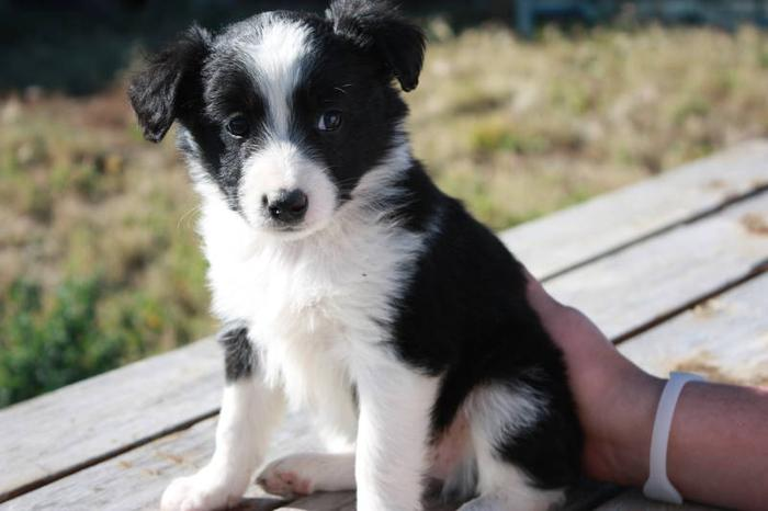 Blue Heeler Australian Shepherd Border Collie Mix Images & Pictures ...