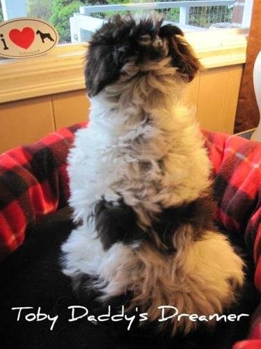 Awesome Coated/Coloured CKC Reg. Miniature Schnauzer Puppies