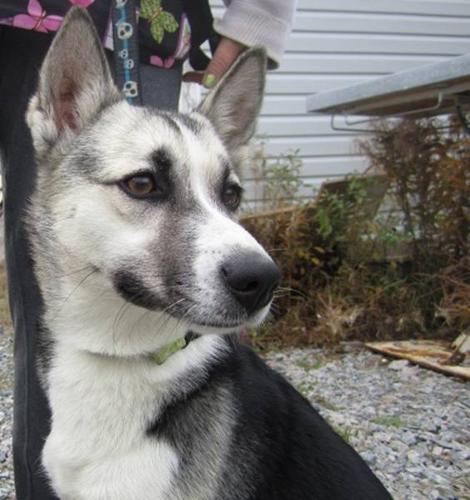 Baby Female Dog - Husky: