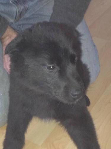 Baby Female Dog - Husky Labrador Retriever: