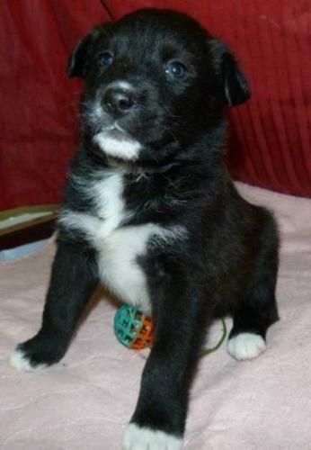 Baby Female Dog - Husky Rottweiler: