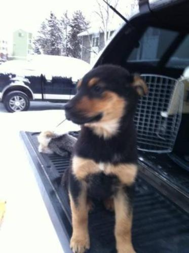 Baby Female Dog - Rottweiler Husky: