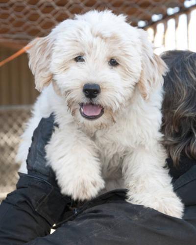 Baby Female Dog - Shih Tzu: