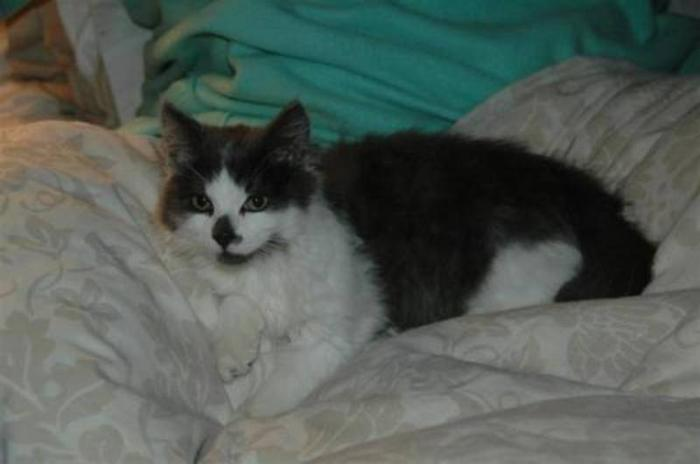 Baby Male Cat - Domestic Medium Hair: