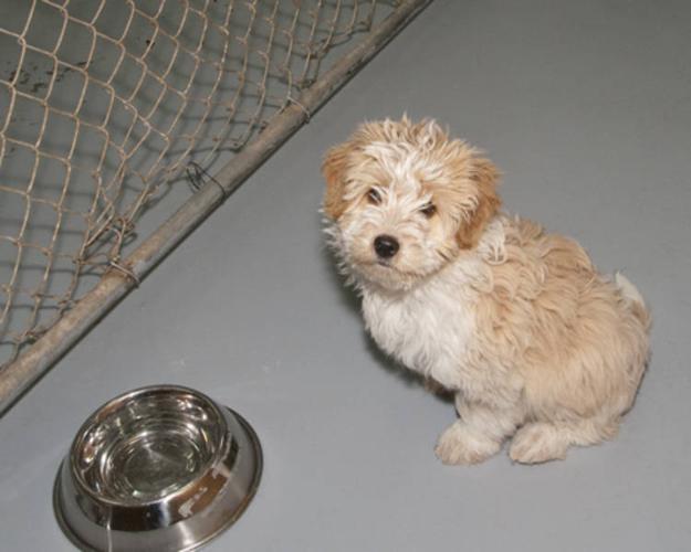 Baby Male Dog - Poodle Shih Tzu: