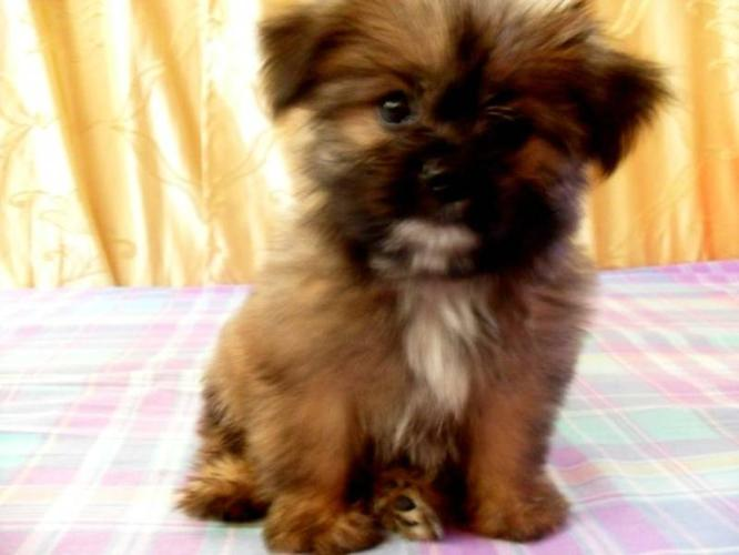 Baby T-cup Shiranian puppies for sale in Hamilton, Ontario