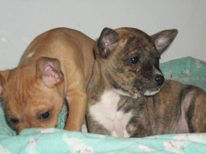 Basenji/Chihuahua pup for sale in Tourond, Manitoba - Nice