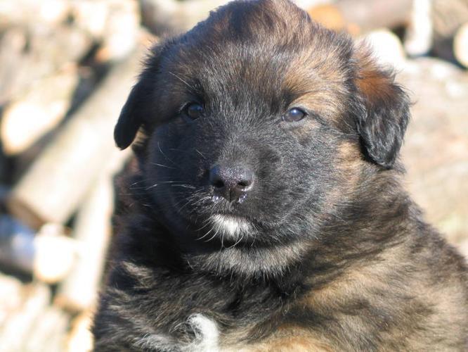 Beautiful Belgian Shepherd mix puppies. for sale in Elgin ...