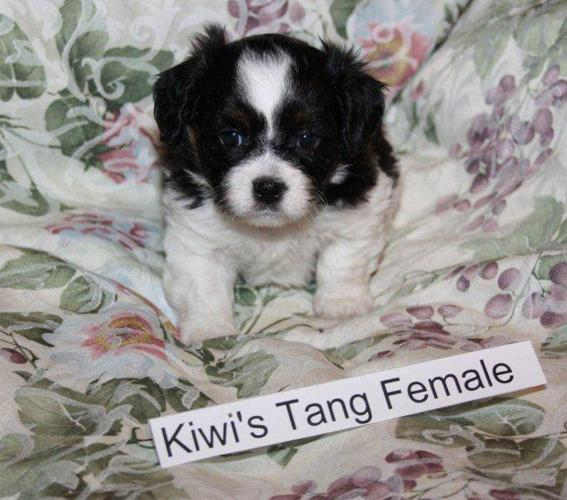 Beautiful Bichon Shih Tzu female puppies for sale in Edmonton