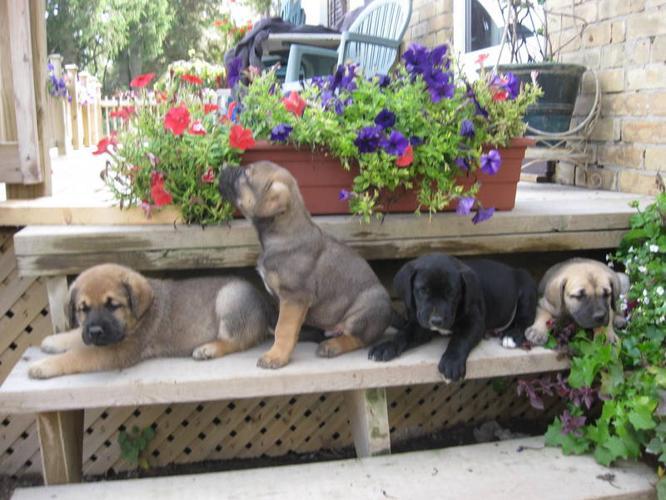 BEAUTIFUL (MASCADOR) LAB MASTIFF PUPS for sale in Ingersoll, Ontario