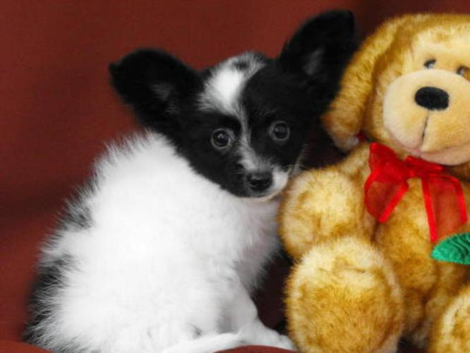 Beautiful Papillon Puppies: Family Raised!