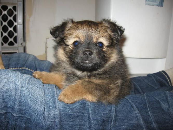 Beautiful Pom-Chi Puppy