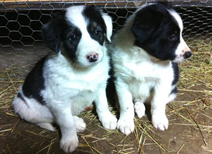 Beautiful Purebred Border Collie Pups