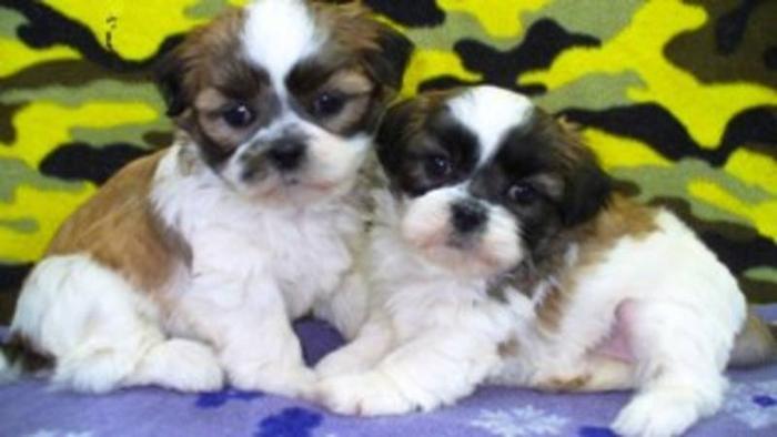 Beautiful Shih Tzu X Bichon Puppies For Sale In St Malo Manitoba