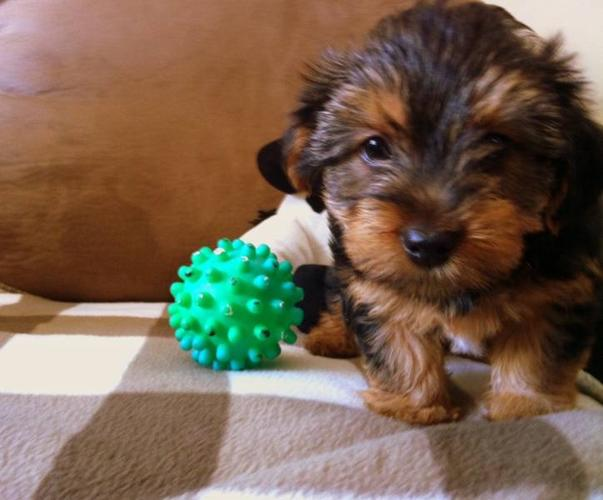Beautiful Yorkie Puppies for sale!