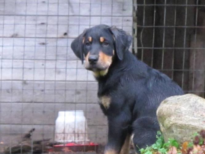 Bernese Mountain Dogblack Lab Cross Labernese For Sale In