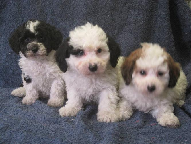 Bi-Poo (Bichon Frise-Mini Poodle) Puppies for sale in Stratford ...