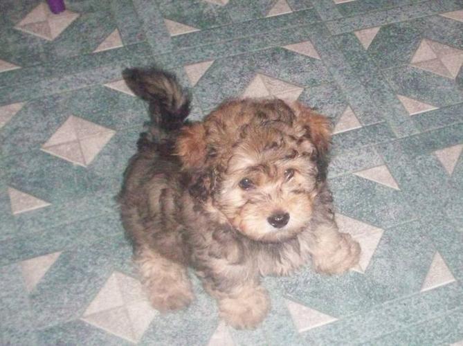 Bichon Mix Yorkie Teddy Bear Puppies For Sale In Belleville