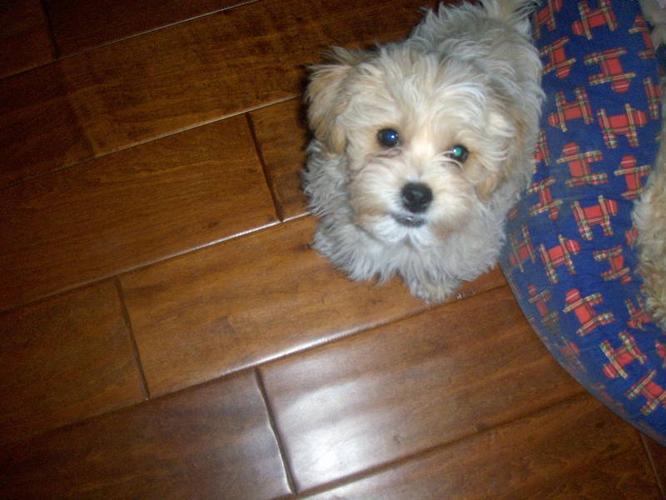 bichon shih-tzu, yorkie, maltese puppies for sale in Calgary, Alberta