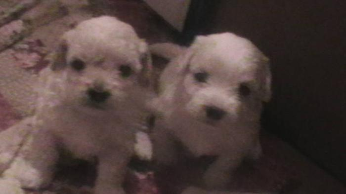 Bichon Frise For Sale Guildford - puppies-sales.s3 ...