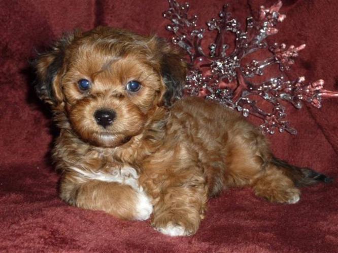 Bichon/Shih tzu/Yorkie Puppies! for sale in Calgary, Alberta Nice ...