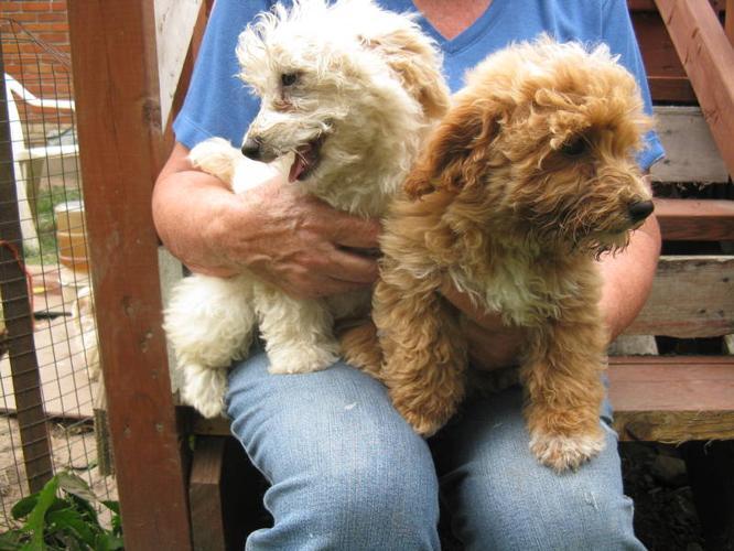 Bishon Frise and Shih Tzu ( Shih-Bi) and toy poodle bichon
