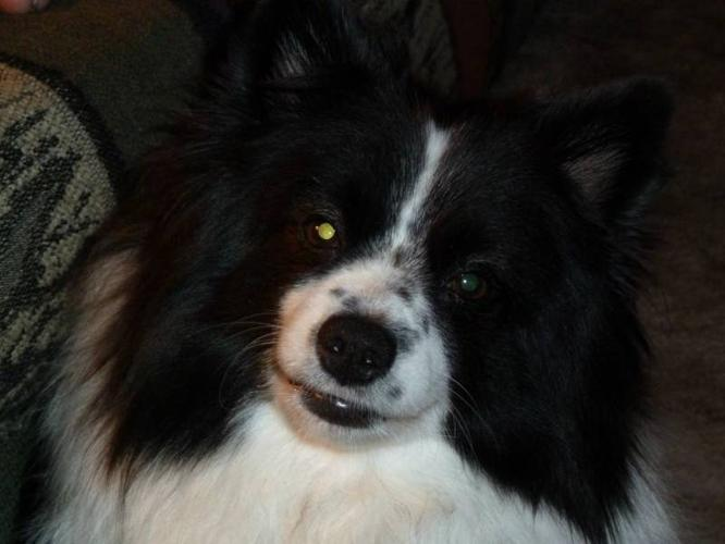 Black and White Pomeranian/Miniature American Eskimo for ...