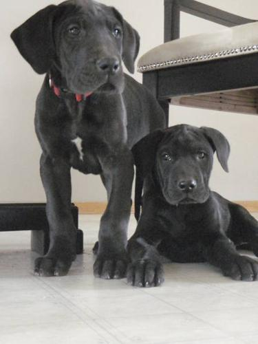 BLACK GREAT DANE PUPPIES- Price Reduced