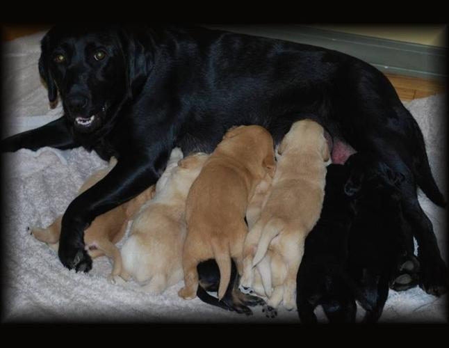 Black Lab Golden Retriever Puppies For Sale For Sale In Grimshaw