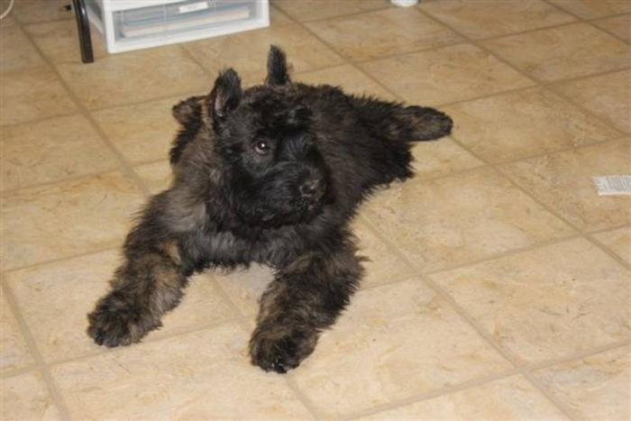 Bouvier Des Flandres Puppies For Sale In Elmvale Ontario Nice