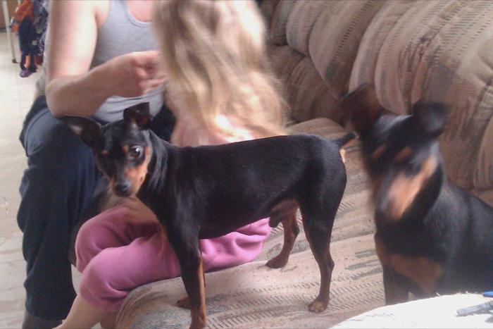Breeding Pair of Min Pins for sale