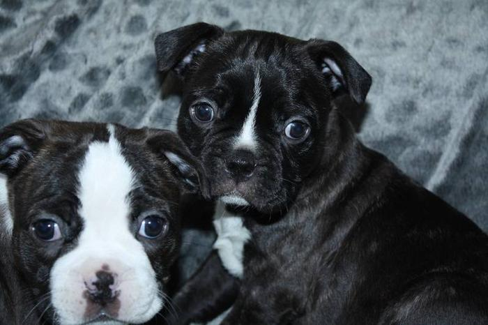 bugg puppies ..mom is bugg dad is boston terrier .. for sale in ...