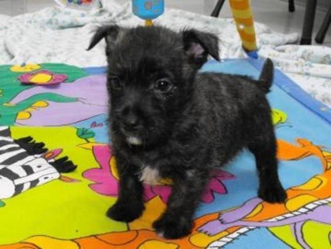 Cairn X Westie Puppies