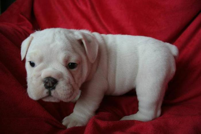 Canadian Kennel Club Registered English Bulldog